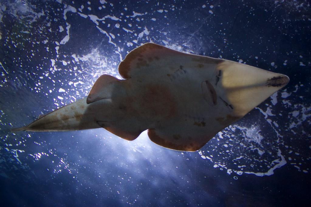 Rochen im Oceanogràfic