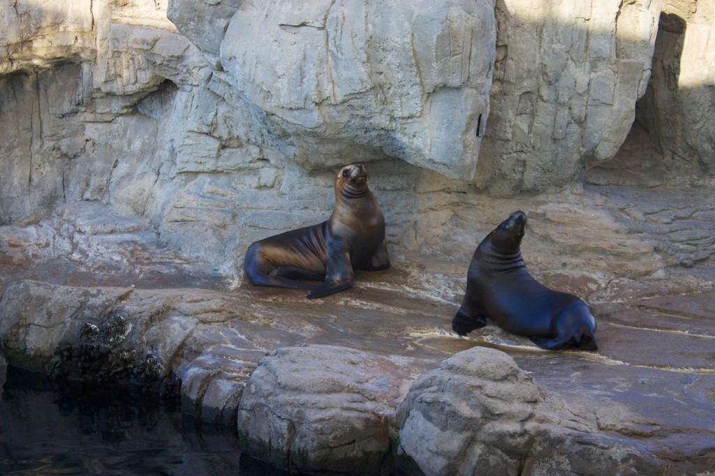 Seelöwen im Oceanogràfic